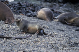 Antarctic Fur-Seal s0523.jpg