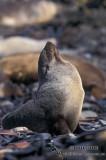 Antarctic Fur-Seal s0524.jpg