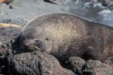 Antarctic Fur-Seal s0525.jpg