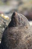 Antarctic Fur-Seal s0528.jpg
