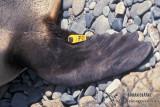 Antarctic Fur-Seal s0532.jpg