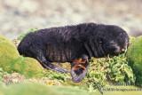 Antarctic Fur-Seal s0533.jpg
