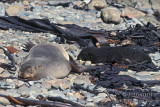 Antarctic Fur-Seal s0537.jpg
