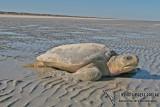 Marine Turtles - Cheloniidae