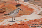 Red-necked Stint a7420.jpg