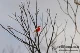 Crimson Chat 0340L.jpg