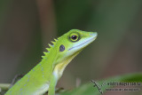 Green Tree Dragon - Bronchocela cristatella