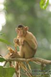Pig-tailed Macaque - Macaca nemestrina