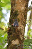Velvet-fronted Nuthatch - Sitta frontalis