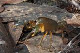 Freshwater Crayfish - Engaeus urostrictus (?)