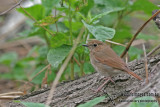 Rufous-tailed Robin - Luscinia sibilans