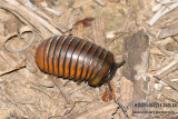 Pill Millipede - Glomeris connexa