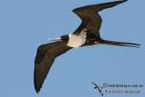 Lesser Frigatebird 5433.jpg