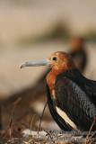 Lesser Frigatebird 6463.jpg