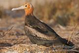 Lesser Frigatebird 6467.jpg