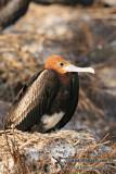 Lesser Frigatebird 6571.jpg