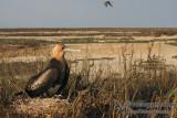 Lesser Frigatebird 6623.jpg