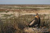 Lesser Frigatebird 6624.jpg