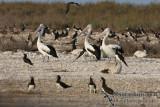 Australian Pelican 6609.jpg