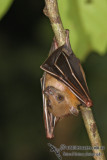 Lesser Short-nosed Fruit-bat - Cynopterus brachyotis