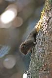 Plain Pygmy Squirrel - Exilisciurus exilis