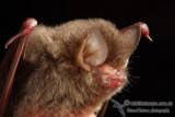 Hardwicke's Woolly Bat - Kerivoula hardwickii
