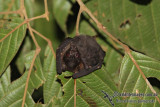 Spotted-winged Fruit-Bat - Balionycteris maculata