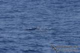 Omura's Whale 6254.jpg