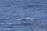 Omura's Whale 6259.jpg