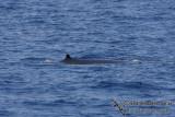 Omura's Whale 6308.jpg