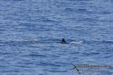 Omura's Whale 6309.jpg