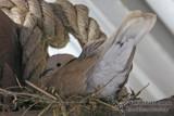 Barbary Dove 2660.jpg