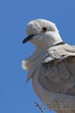 Barbary Dove 2731.jpg