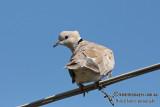 Barbary Dove 2776.jpg