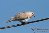Barbary Dove 2788.jpg