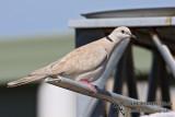 Barbary Dove 2825.jpg