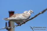 Barbary Dove 2828.jpg