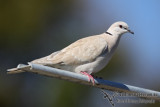 Barbary Dove 2833.jpg