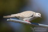 Barbary Dove 2850.jpg