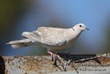 Barbary Dove 2854.jpg