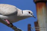 Barbary Dove 2881.jpg