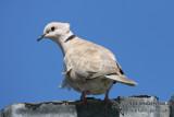 Barbary Dove 2916.jpg