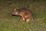 Red-legged Pademelon