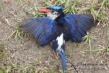 Lesser Paradise Kingfisher 1845.jpg