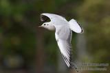 Black-headed Gull 1187.jpg