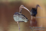 Ibis and Spoonbills