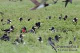 Lesser Frigatebird 5965.jpg