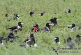Lesser Frigatebird 5967.jpg