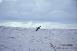 White-bellied Storm-Petrel s0822.jpg