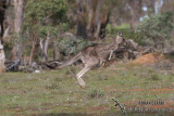Eastern Grey Kangaroo 7845